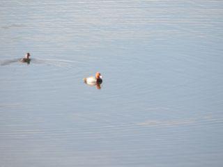 Beautiful ducks in our lake